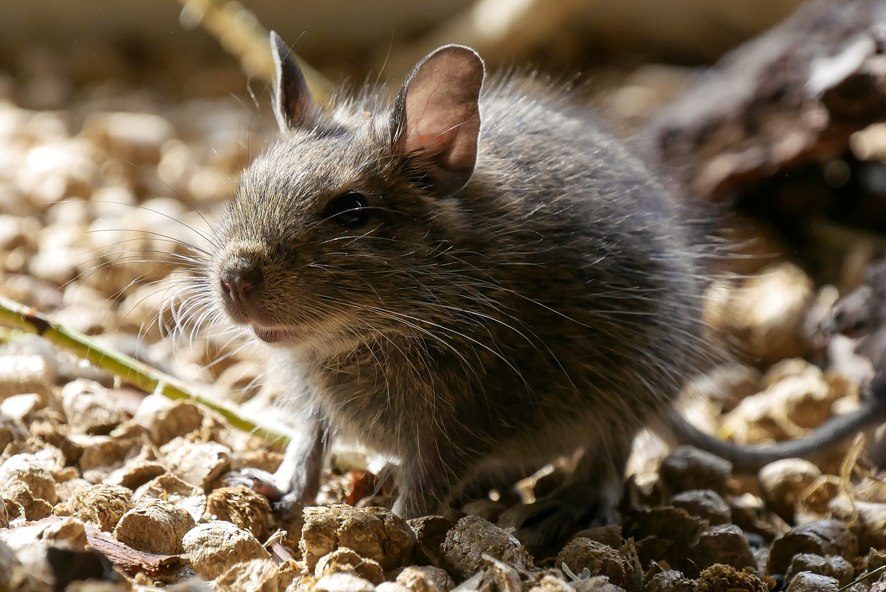 South Georgia Successfully Eradicates Rodent Problem