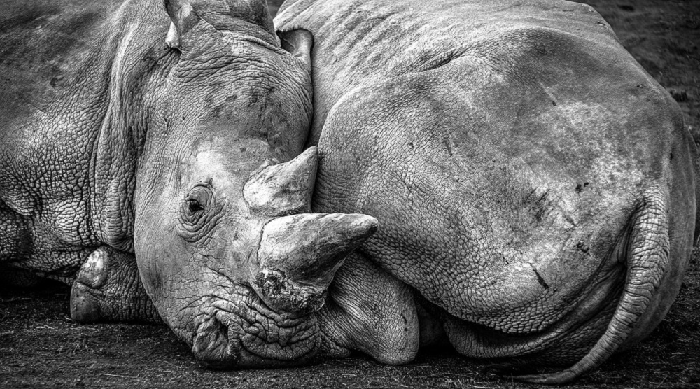 It is Now Possible to Save the Northern White Rhino Using IVF Method