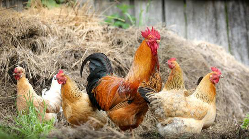 How raising backyard chickens can get you a six-figure income